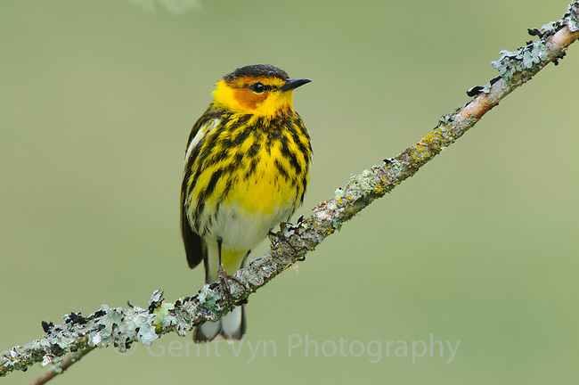 Adult male Cape May Warbler (Dendroica tigrina) in breeding plumage. Alberta, Canada. June.