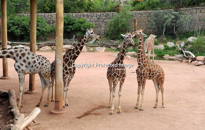 Giraffes at Cheyenne Mountain Zoo in Colorado, USA