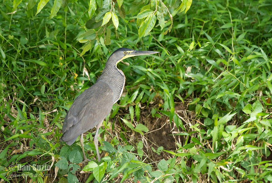 Bare-throated Tiger Heron, Tigrisoma mexicanum, perched on a branch beside the Tarcoles River, Costa Rica