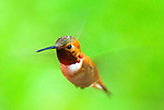 Rufous hummingbird, Coast mountain range, Oregon