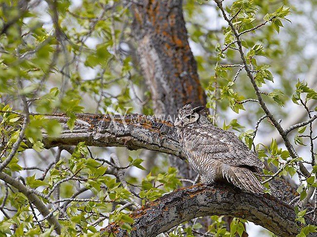 Great horned owls were everywhere during this trip.  In addition to some traditional spots, I found them in several new locations as well.
