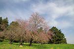 Israel, Upper Galilee, Judas tree in Naftali Mountains forest