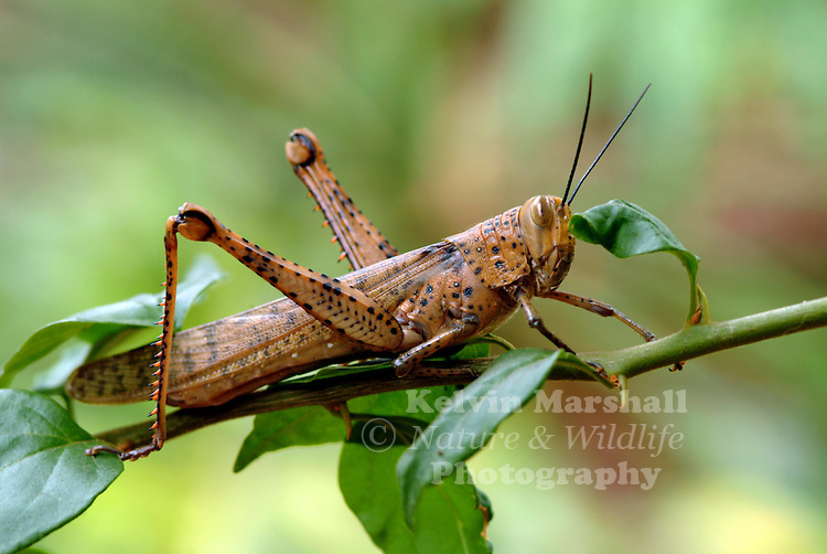 The adult Hedge Grasshopper is a large pale brown grasshopper. The nymphs start off green, and sometimes have brown and orange patterns, turning brown before the final moult. Adults hibernate over winter.