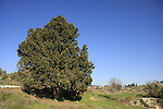 Israel, Lower Galilee, Cypress tree (Cupressus sempervirens) in Ilania