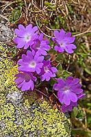 Ganzblättrige Primel, Ganzblättrige Schlüsselblume, Ganzblätterige Primel, Primula integrifolia, Entire-leaved Primrose