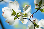 White Dogwood Blossoms