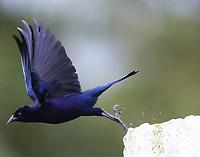 Shining cowbird taking flight