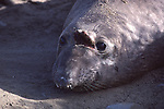 Wound on head of sub-adult bull elephant seal