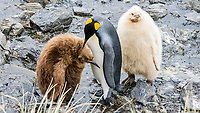 king penguin, Aptenodytes patagonicus, rare leucistic chick at breeding colony, Salisbury Plain, Bay of Isles, South Georgia, South Atlantic Ocean