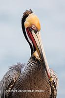 00672-00701 Brown Pelican (Pelecanus occidentalis), La Jolla cliffs, La Jolla, CA