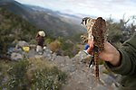 A male Kestrel waits to be released after being banded at Hawkwatch International's Goshute mountain research station with observers in the background. This hawk and raptor banding project is at the largest raptor migration flyway west of the Mississippi in the Goshute mountains of eastern Nevada.