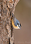 Red-breasted Nuthatch (Sitta canadensis), male clinging to a treetrunk head down, New York, USA
