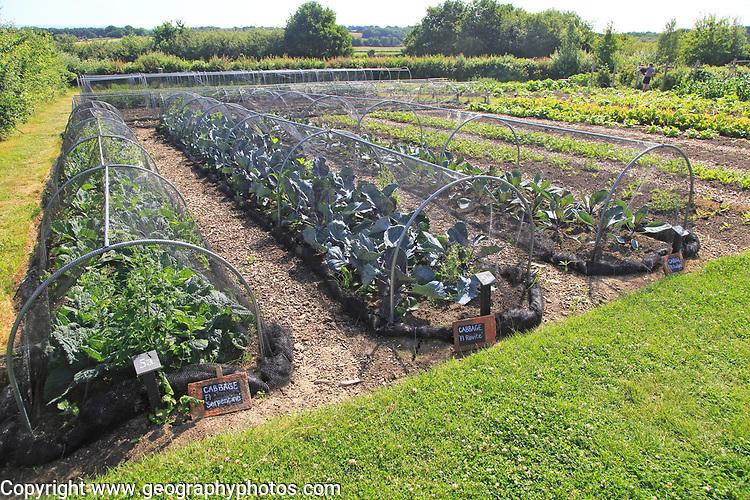 Cabbages growing under nets in vegetable garden, Sissinghurst castle gardens, Kent, England, UK