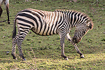Burchell's Zebra At Lake Bunyonyi Eco Resort