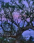 Moonset, Coast Live Oak, Los Padres National Forest, Big Sur, Monterey County, California