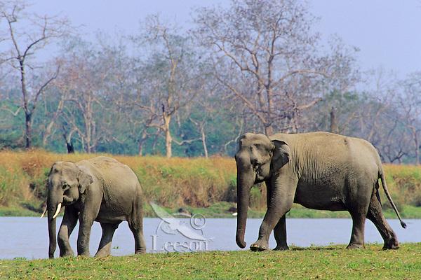 Wild Asian elephant or Indian elephant (Elephas maximus), Kaziranga National Park, India.