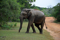 Asian Elephant (Elephas maximus maximus) - The Sri Lankan subspecies is the largest and also the darkest of the Asian elephants, with patches of depigmentation—areas with no skin color—on its ears, face, trunk and belly. Once found throughout the tear-shaped island at the bottom of India's southern tip, these elephants are now being pushed into smaller areas as development activities clear forests and disrupt their ancient migratory routes. Bundala National Park - Sri Lanka.