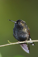 Black-bellied Hummingbird, Eupherusa nigriventris, male perched, Central Valley, Costa Rica, Central America, December 2006
