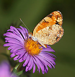 Tiny Butterfly, Northern Crescent, On An Alpine Aster Flower, Phyciodes cocyta