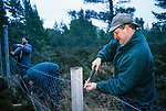 Removing fencing that the resident Capercaillies fly into and are often killed.<br /> <br /> Abernethy forest Reserve Scotland. <br /> An old growth forest in the foothills of  the Cairngorms. Deep heather provides a home to a large biodiversity.
