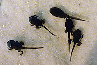Erdkröte, fast fertig entwickelte Kaulquappen, Jungkröten haben noch ihren Schwanz, Entwicklungsreihe, Metamorphose, Erd-Kröte, Kröte, Bufo bufo, European common toad