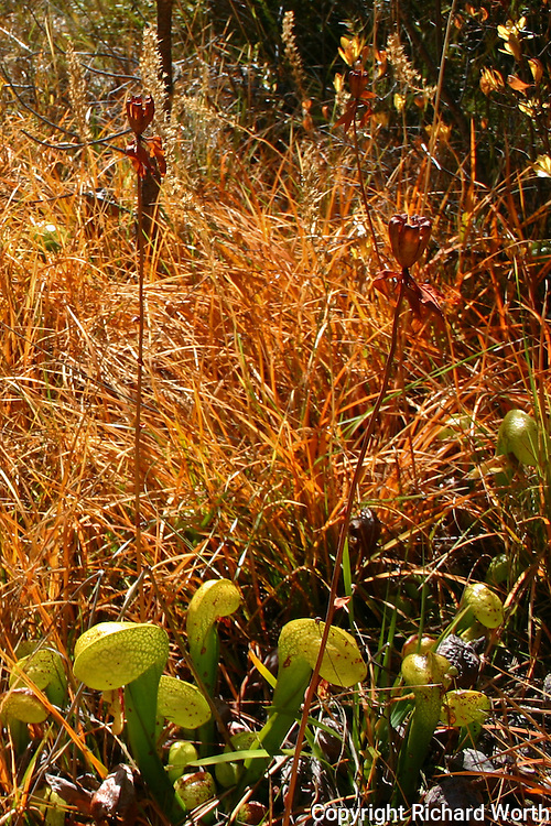 The pitcher and hood of the Darlingtonia californica are its leaves.  The plant's flowers rise well above those hoods - the red inverted bell shaped flowers at the top of long, naked stems.