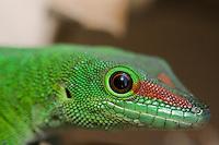 portrait of a madagascar giant day gecko