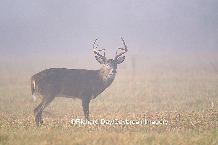 01982-1420 White-tailed Deer (Odocoileus virginianus) buck in fog   TN