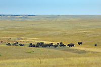 Plains bisons (Bison bison) in grasslands<br />