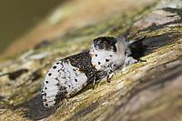 Birken-Gabelschwanz, Birkengabelschwanz, Furcula bicuspis, Cerura bicuspis, Harpyia bicuspis, alder kitten, La Harpye bicuspide, Zahnspinner, Notodontidae, prominents