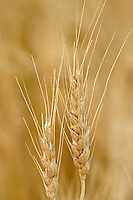 Wheat closeup <br /> Yorkton<br /> Saskatchewan<br /> Canada