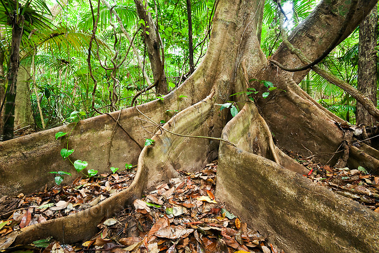 Butress roots of a rainforest tree.  Daintree National Park, Queensland, Australia