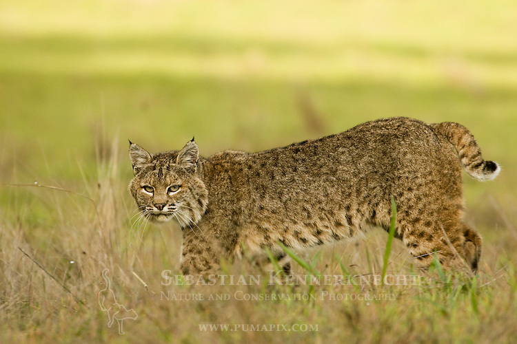 Bobcat (Lynx rufus californicus) female walking, Santa Cruz, Monterey Bay, California