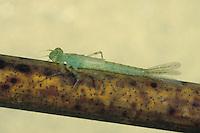 Hufeisen-Azurjungfer, Hufeisenazurjungfer, Azurjungfer, im Wasser lebende Larve, Nymphe, Libellenlarve, Coenagrion puella, Azure Damselfly, larva, larvae