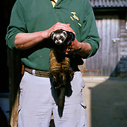 Transition Town Series. March 2011. Totnes, Devon. A man holds a pet ferret at a local Totnes farm.