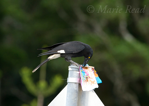 Pied Currawong (Strepera graculina) trying to eat paper food wrapper, Lamington National Park, Queensland, Australia