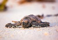 hawksbill sea turtle, Eretmochelys imbricata, hatchling, Bird Island, Seychelles, Indian Ocean