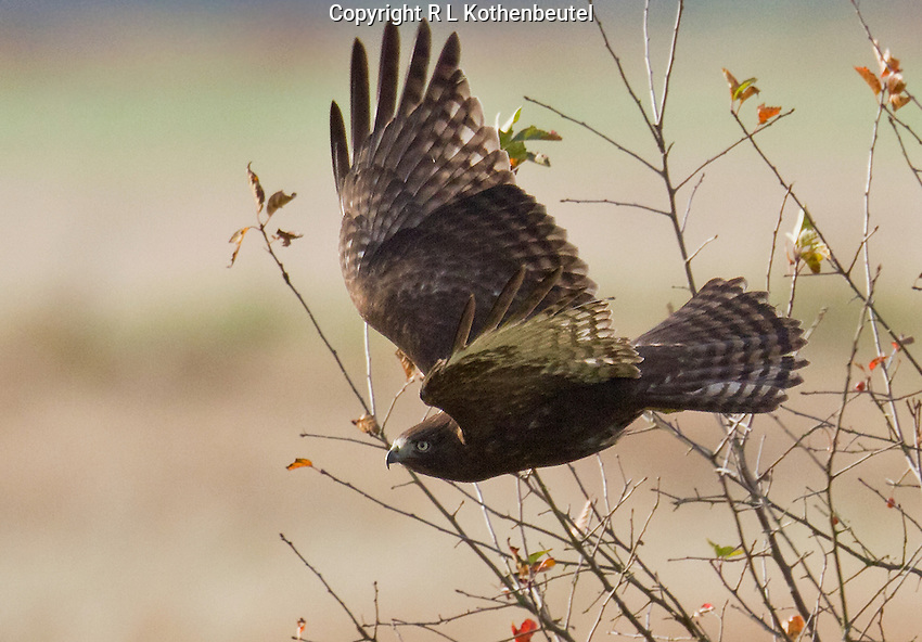 Juvenile Harlan's hawk in flight over the Samish Flats in northwest Washington.<br /> Samish Flats, Skagit County, Washington State<br /> 11/2/2012