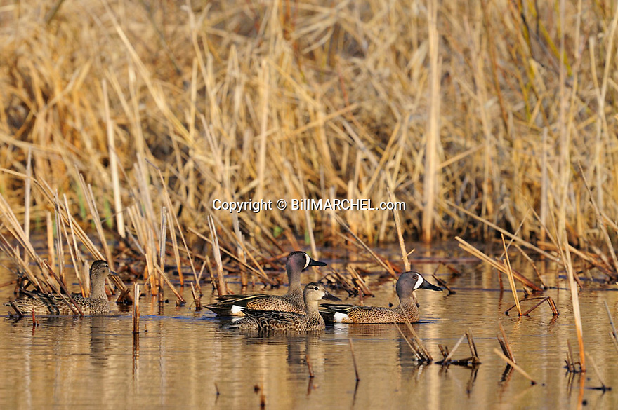 00315-065.03 Blue-winged Teal: Two drakes and two hens are on the water of cattail marsh.  Hunt, waterfowl, wetland.