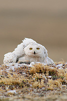 Adult female Snowy Owl (Bubo scandiacus) brooding chicks on the nest. Several collared lemmings, previously delivered by the male lay nearby. Bathurst Island, Nunavut, Canada. June.