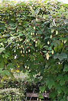 Hops Vine for Beer Making, Humulus opulus