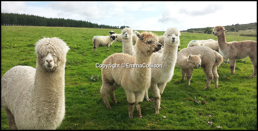 BNPS.co.uk (01202 558833)<br /> Pic: EmmaCollison/BNPS<br /> <br /> Cute, cuddley...tasty!<br /> <br /> Free range food.<br /> <br /> A Cornish farmer has come up with the latest in tasty treats...Alpaca pies. <br /> <br /> Alpaca breeder Emma Collison has started selling the unusual snacks from her farm on Bodmin moor in Cornwall. <br /> <br /> Alpaca, pasties, rolls and pies are now flying off the shelves as people develop a taste for the South American Camelid's lean, low fat &amp; low cholesterol meat. <br /> <br /> Emma believe's that to keep a healthy population of alpacas you must make them useful in as many ways as possible, so along with the pies and pasties she also sells duvets, pillows and fleeces made with the alpacas extremely fine wool.