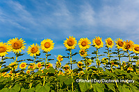 63801-07519 Sunflower field Sam Parr State Park Jasper County, IL