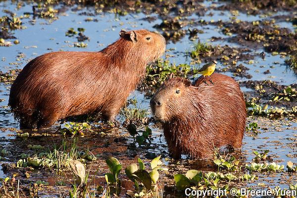 Capybara Pair in a Marsh