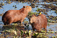 Capybara Pair in a Marsh
