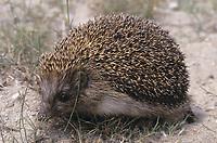 Nördlicher Weißbrustigel, Nord-Weißbrustigel, Weissbrustigel, Weißbrust-Igel, Weissbrust-Igel, Osteuropäischer Igel, Ostigel, Ost-Igel, Erinaceus roumanicus, Erinaceus concolor roumanicus, northern white-breasted hedgehog, Le hérisson de Roumanie, le hérisson des Balkans