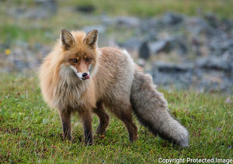 Rødrev (Vulpes vulpes) --- Fox (Vulpes vulpes)