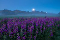 Flowers emerge from mist during summer twilight on Gimsøy, Lofoten Islands, Norway