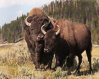 In Yellowstone, early August is mating season for bison (Bison bison). Bulls come back to the herd after a solitary spring and summers with noth'n but sweet nothings on their mind :) Hayden Valley, Yellowstone.