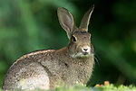 Rabbit, Oryctolagus cunniculus, alert looking at camera, adult.United Kingdom....